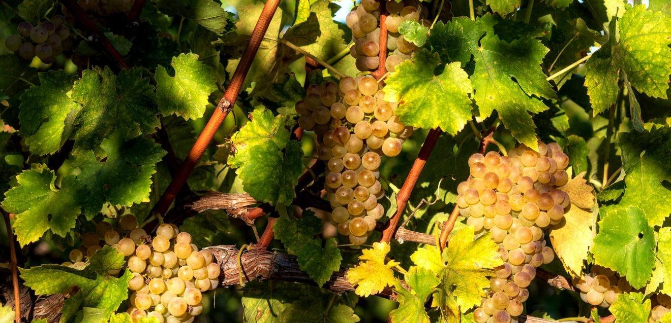 вино региона Марке
